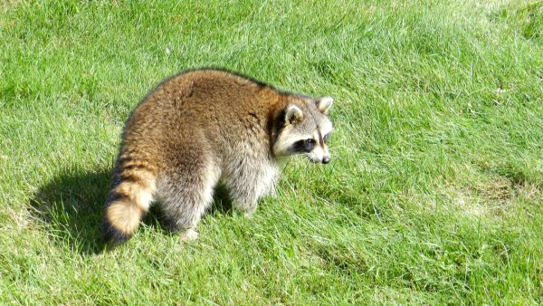Raccoon walking in the grass.