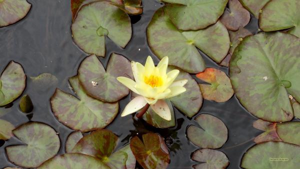 HD wallpaper yellow waterlily