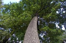 Tree viewed from ground level