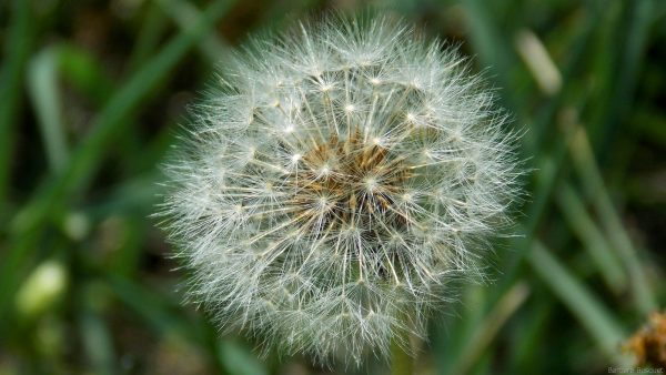 Close-up photo dandelion