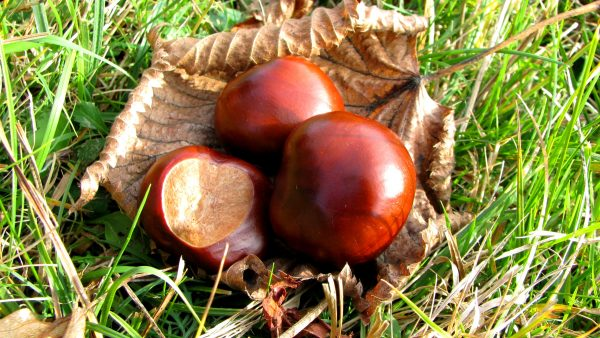 Autumn HD wallpaper with chestnuts