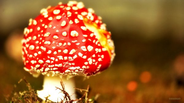 Autumn wallpaper with red mushroom.