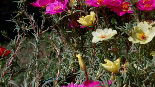 Portulaca grandiflora close-up photo