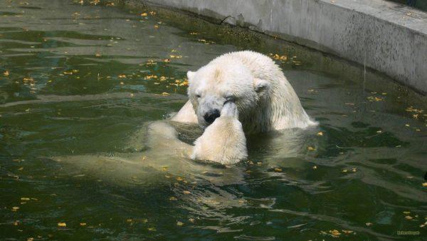 HD wallpaper Two polar bear swimming