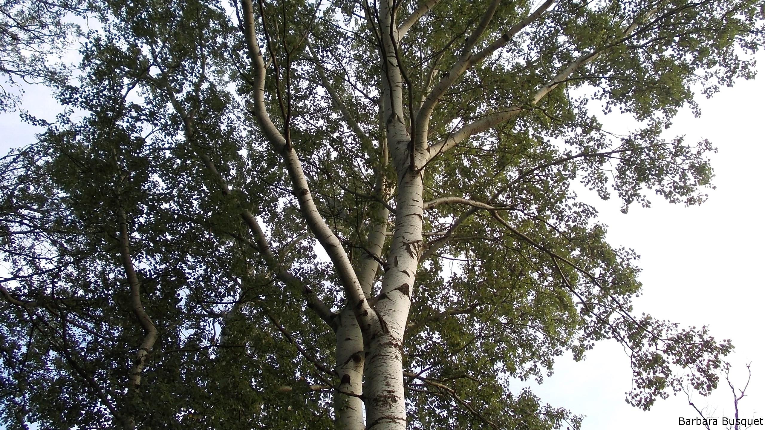 Birch Trees Wallpapers Barbaras Hd Wallpapers