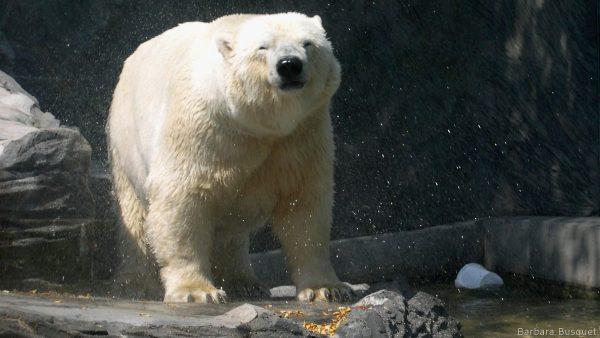 HD wallpaper polar bear shaking water off his fur