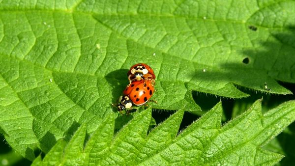 Two ladybugs making love.