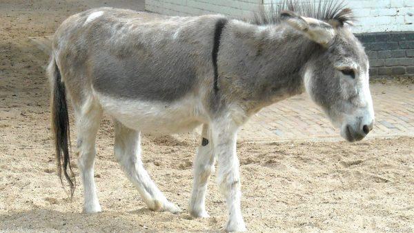 Donkey walking in zoo