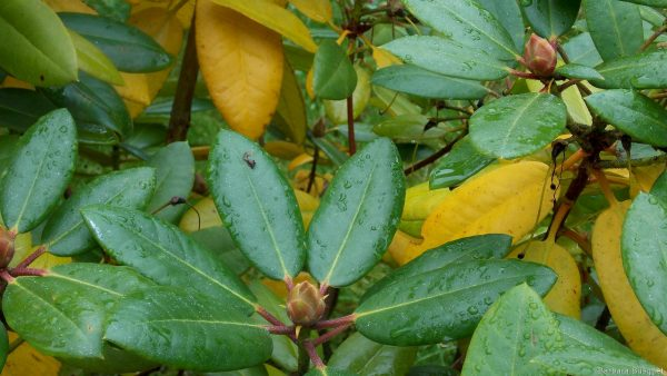 Wallpaper with leaves of Rhododendron in autumn