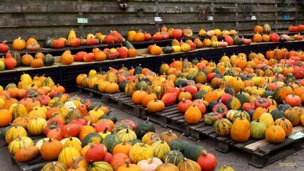 HD wallpaper with pumpkins