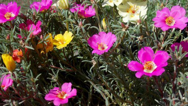 Yellow and pink grandiflora flowers