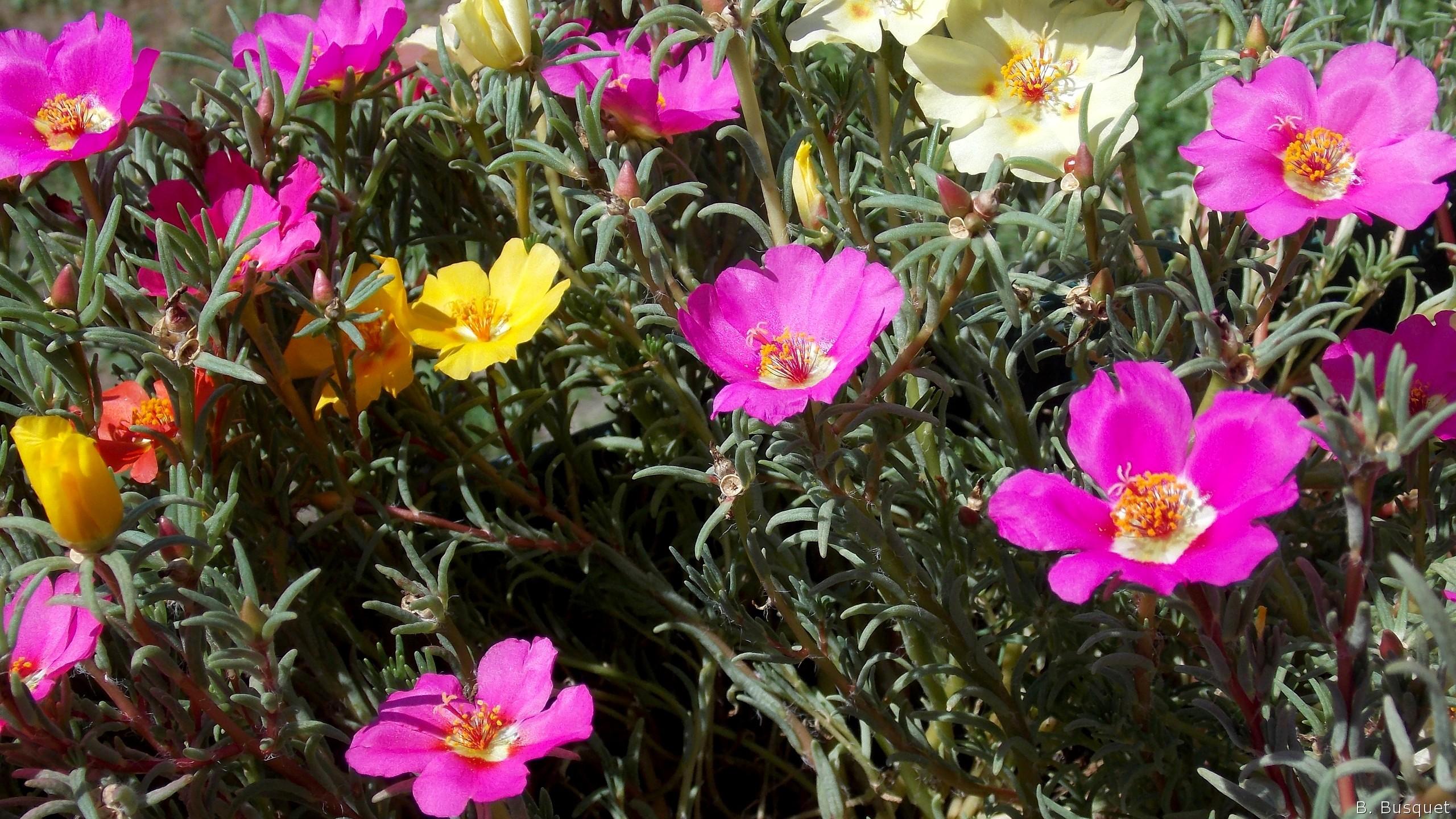 Portulaca grandiflora flowers barbaras hd wallpapers - Piante grasse con fiori ...