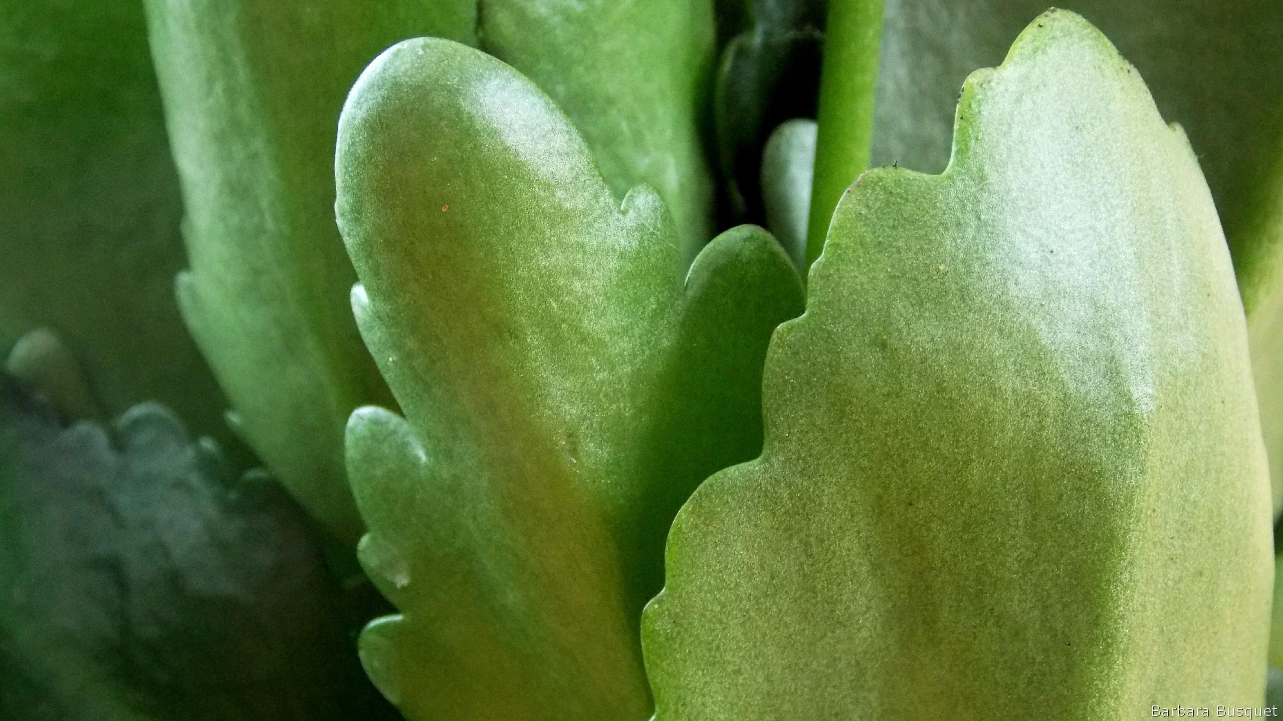 sedum plant hd wallpaper - photo #3