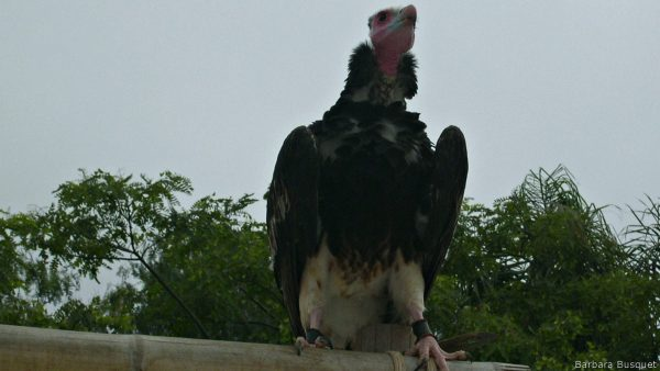 Wallpaper with an old world vulture
