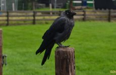 Black bird on a pole