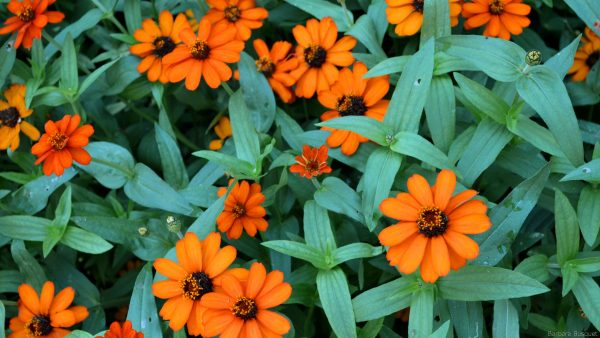 HD wallpaper with orange flowers