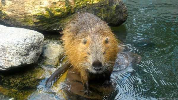 Wallpaper with beaver on rock in water