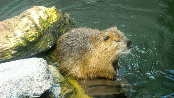 wallpaper with beaver near water