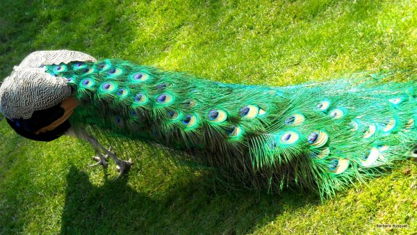 Wallpaper with peacock feathers
