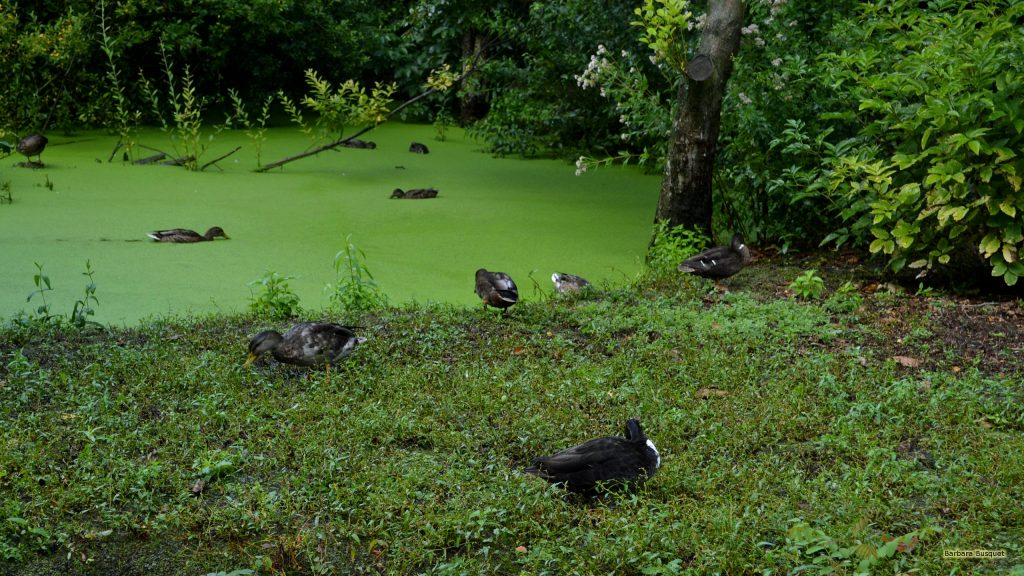 Green landscape with ducks