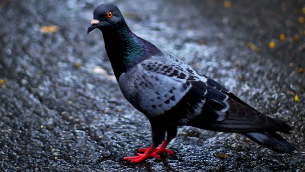 HD wallpaper with pigeon