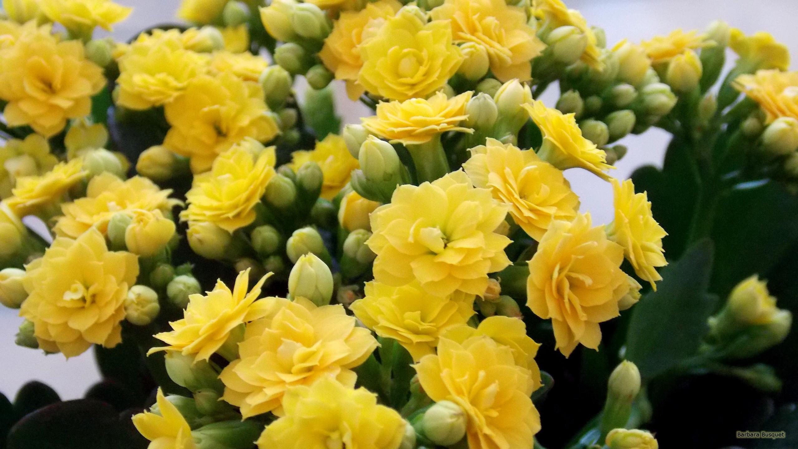 Hd wallpaper yellow flowers - Hd Wallpaper Yellow Flowers