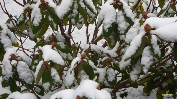 Rhododendron in winter with snow