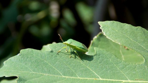 Wallpaper green shield bug on leaves