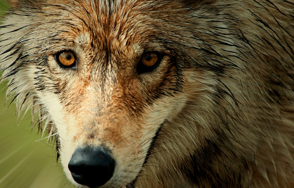 Close-up of the head of a wolf