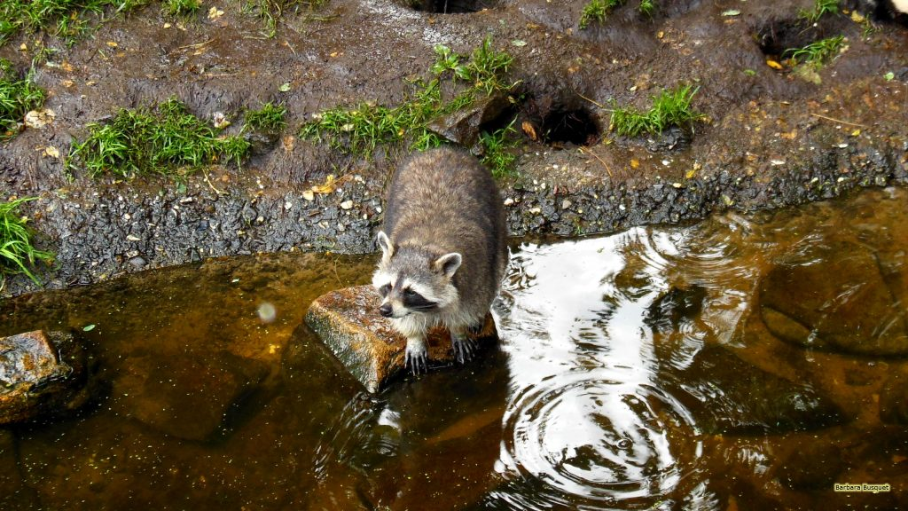 HD wallpaper raccoon near water