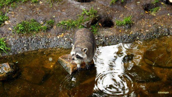 HD wallpaper raccoon near water