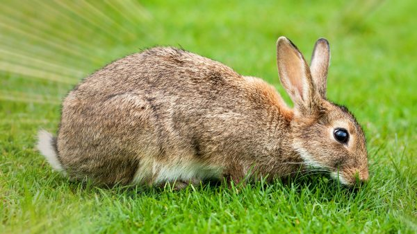 HD wallpaper with European Rabbit