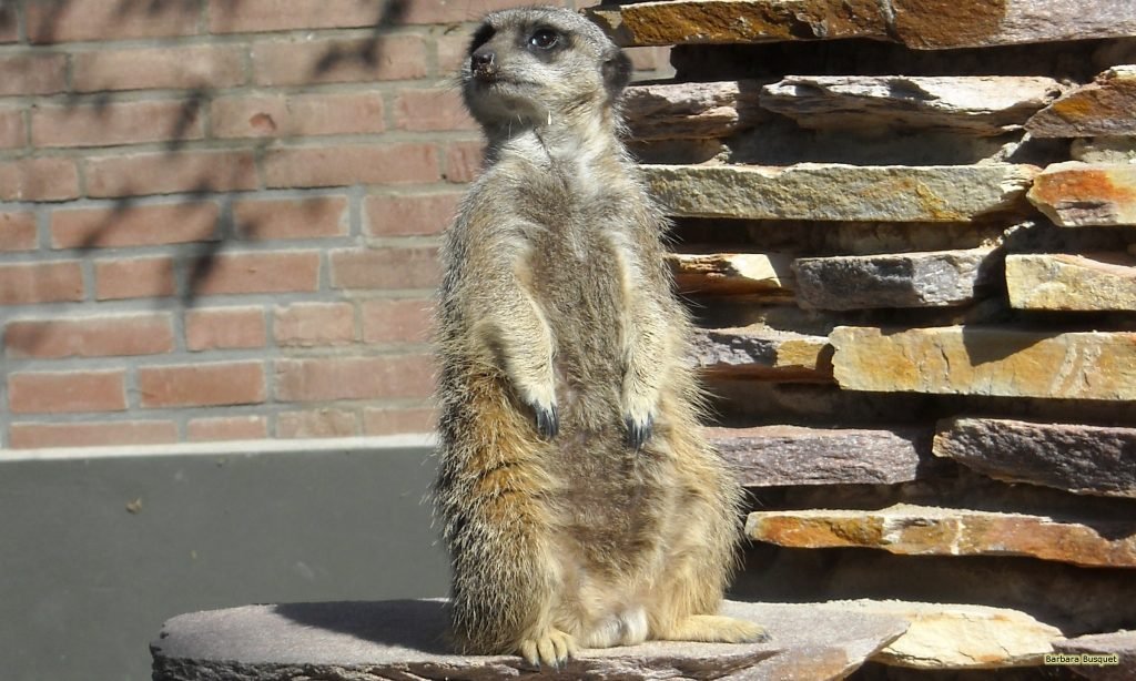 HD wallpaper with meerkat in zoo