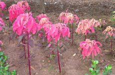Plant with pink leaves