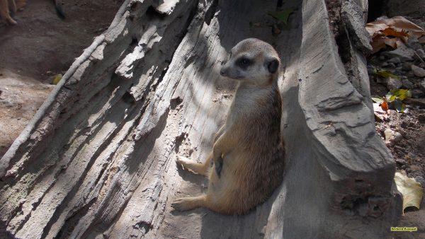 Meerkat in hollow trunk
