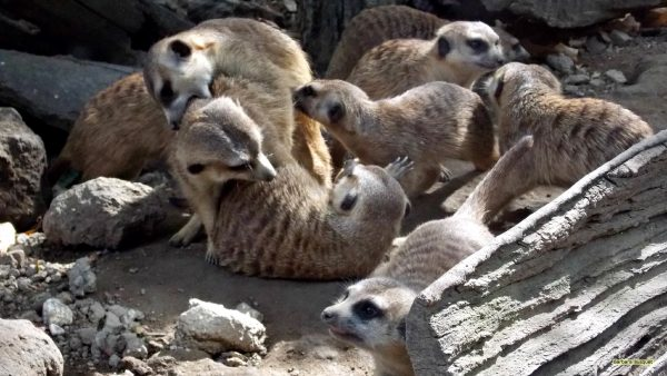 Suricates playing in the zoo in Belgrade.