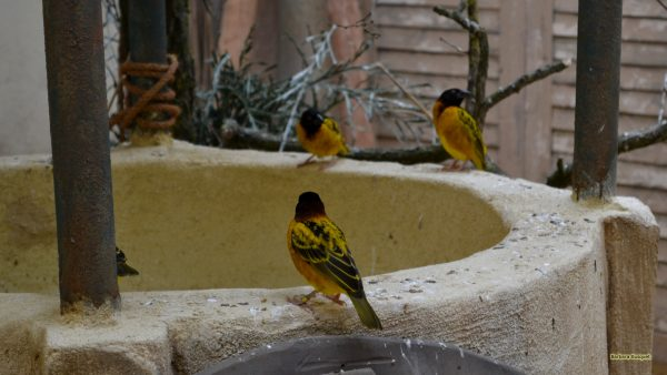 Yellow black Black-hooded oriole birds on well