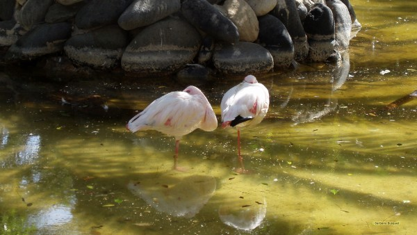 Flamingoes on one leg in the water.