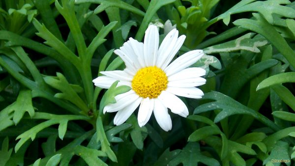 Flower wallpaper marguerite daisy