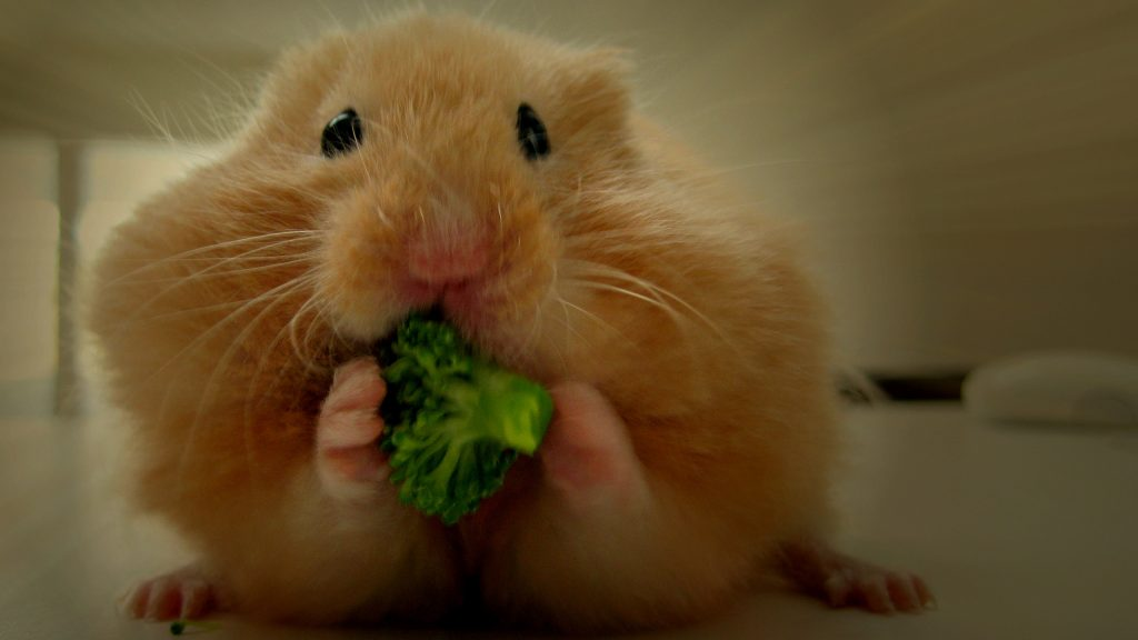 GOlden hamster eats broccoli