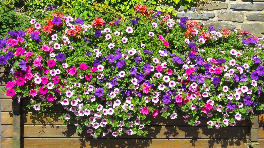HD wallpaper petunia flowers