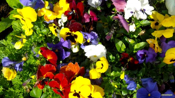 Spring wallpaper with viola flowers in many colors