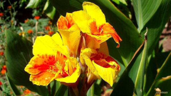 Tropical wallpaper yellow orange colored flower.