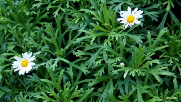 marguerite daisy wallpaper