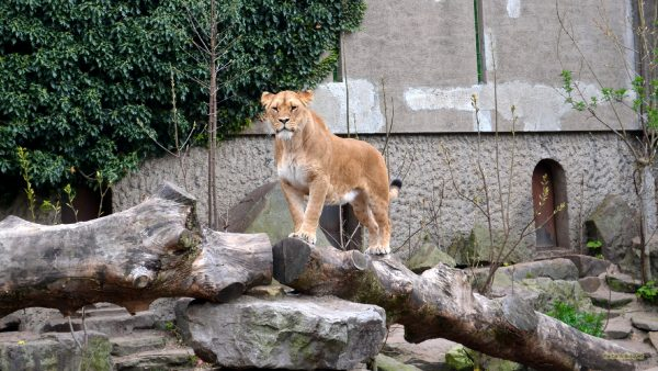 Animals wallpaper lioness in a zoo