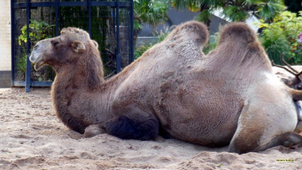 Camel on the ground