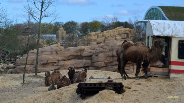 Caravan of camels in Dutch zoo