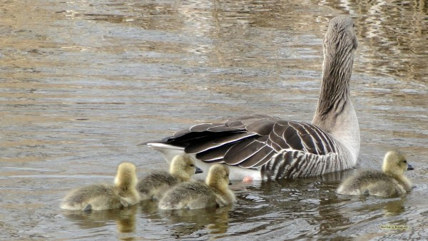 Desktop background Goose with goslings