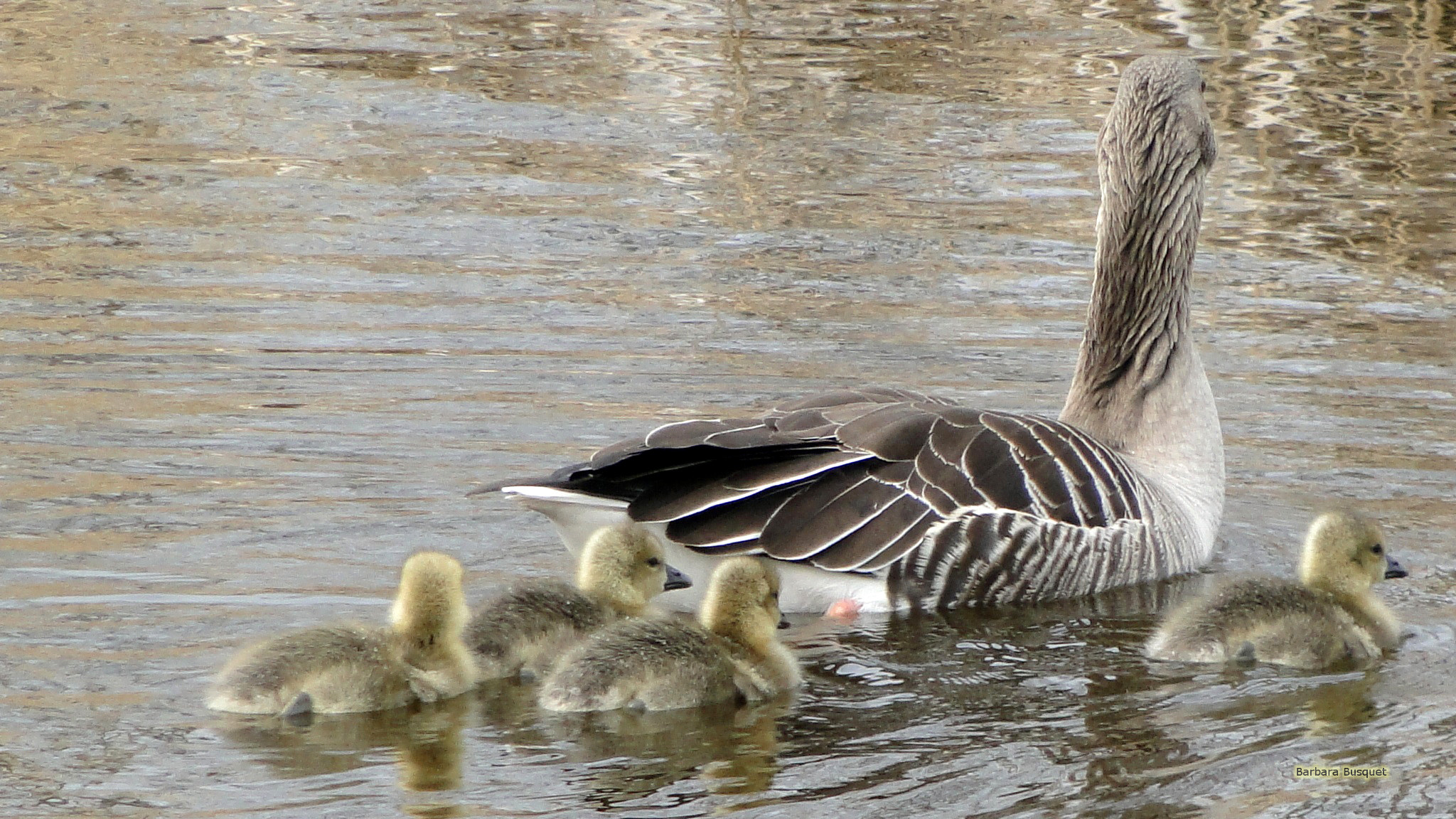 Three geese swimming in ditch - Barbaras HD Wallpapers