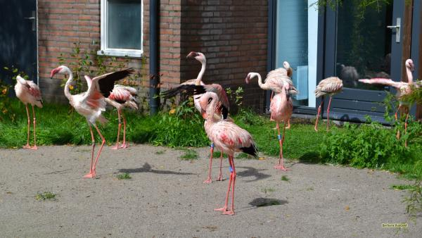 Flamingos near house
